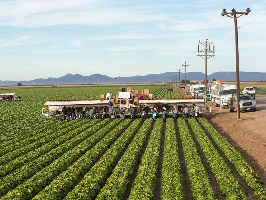 Lettuce in Yuma