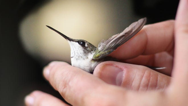 A Hummingbird is held just before taking off after being inspected and banded at the Warner Park Nature Center . The upcoming hummingbird festival is one of Warner Nature Center's most popular events.