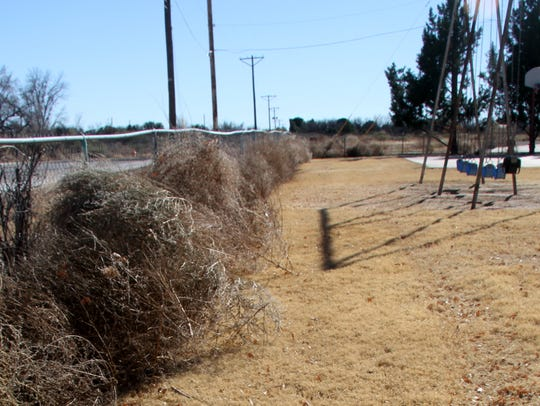 Dozens of tumbleweeds were  caught on a fence in Cherry