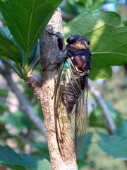 Cicadas photographed at Our Lady of the Pines in Fremont.