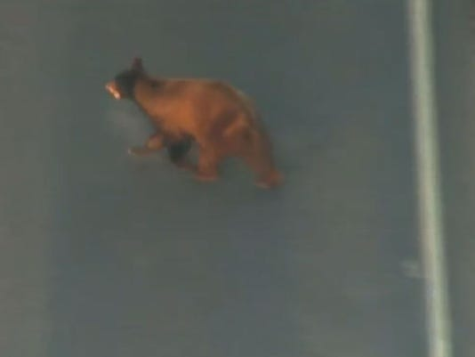 Bear in Mesa