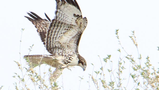 A rehabilitated red-tailed hawk flies into a tree.