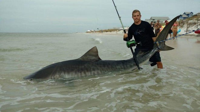 Moments before releasing his prize catch, surf fisherman Zach Wolk is shown with his 11-foot, 5-inch tiger shark he landed at Cape San Blas near Apalachicola.