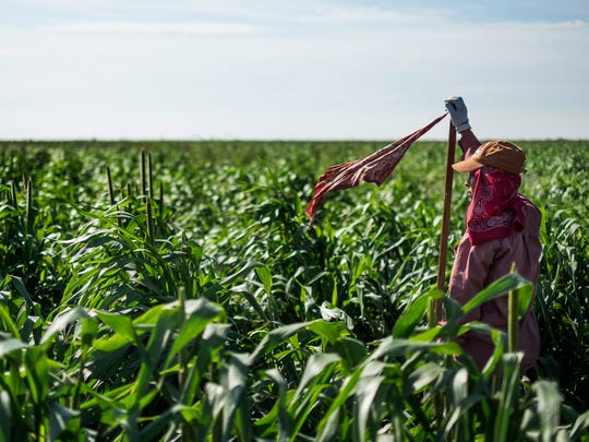 A migrant farm worker marks the row of sorghum the workers are walking and working in Plainview, Texas, on Aug. 18, 2015. While other agricultural states spend hundreds of thousands of dollars to ensure safe and sanitary conditions at facilities for migrant farmworkers, Texas lawmakers provide no funding for the program. Last year, the housing department spent less than $2,500 on it. Inspections are conducted by manufactured housing division workers.