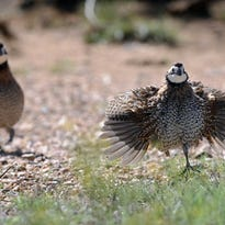 Agricultural digest: Quail Management Symposium set for March 22
