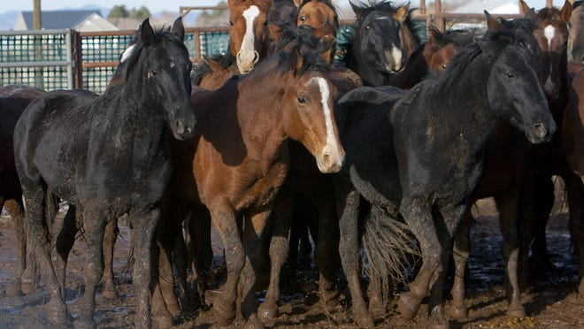 Wild horses in a holding corral in Enterprise.