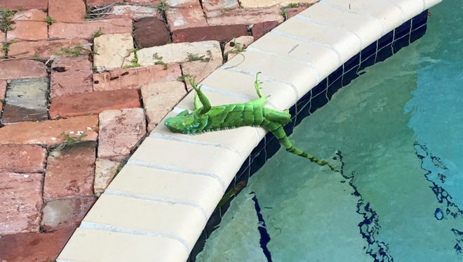 An iguana that froze lies near a pool after falling from a tree in Boca Raton, Thursday, Jan. 4, 2018. It's so cold in Florida that iguanas are falling from their perches in suburban trees.