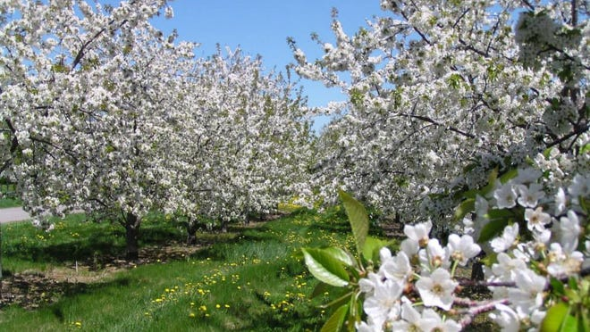 Apple trees in full bloom at Apple Country Spirts in Williamson