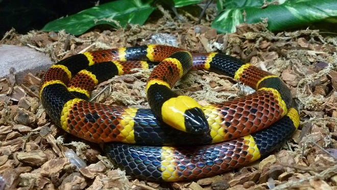 A coral snake