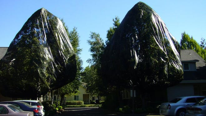 Flowering Linden trees at a Eugene apartment complex improperly sprayed with pesticides this summer were covered with shade cloth to keep bees away.