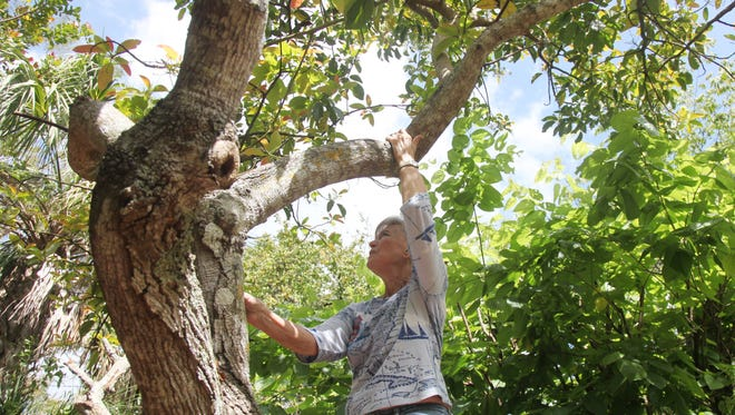 Madeline May, of Fort Myers, has 300 fruit and nut trees on her 5 acre property near downtown Fort Myers.
