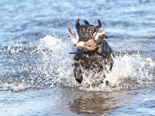 Stella is Mike Jennings' 4-year-old Labrador retriever.