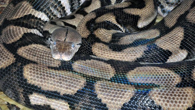 The female reticulated python that produced six snakes without the assistance of a male snake at the Louisville Zoo.