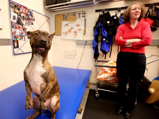 Tigger, a bull terrier mix with deformed front legs, waits with his foster owner Eve Good during a physical therapy session to strengthen his front paws after surgery on the front right leg to help correct its shape at the Oregon State University College of Veterinary Medicine in Corvallis on Friday, Jan. 20, 2017.