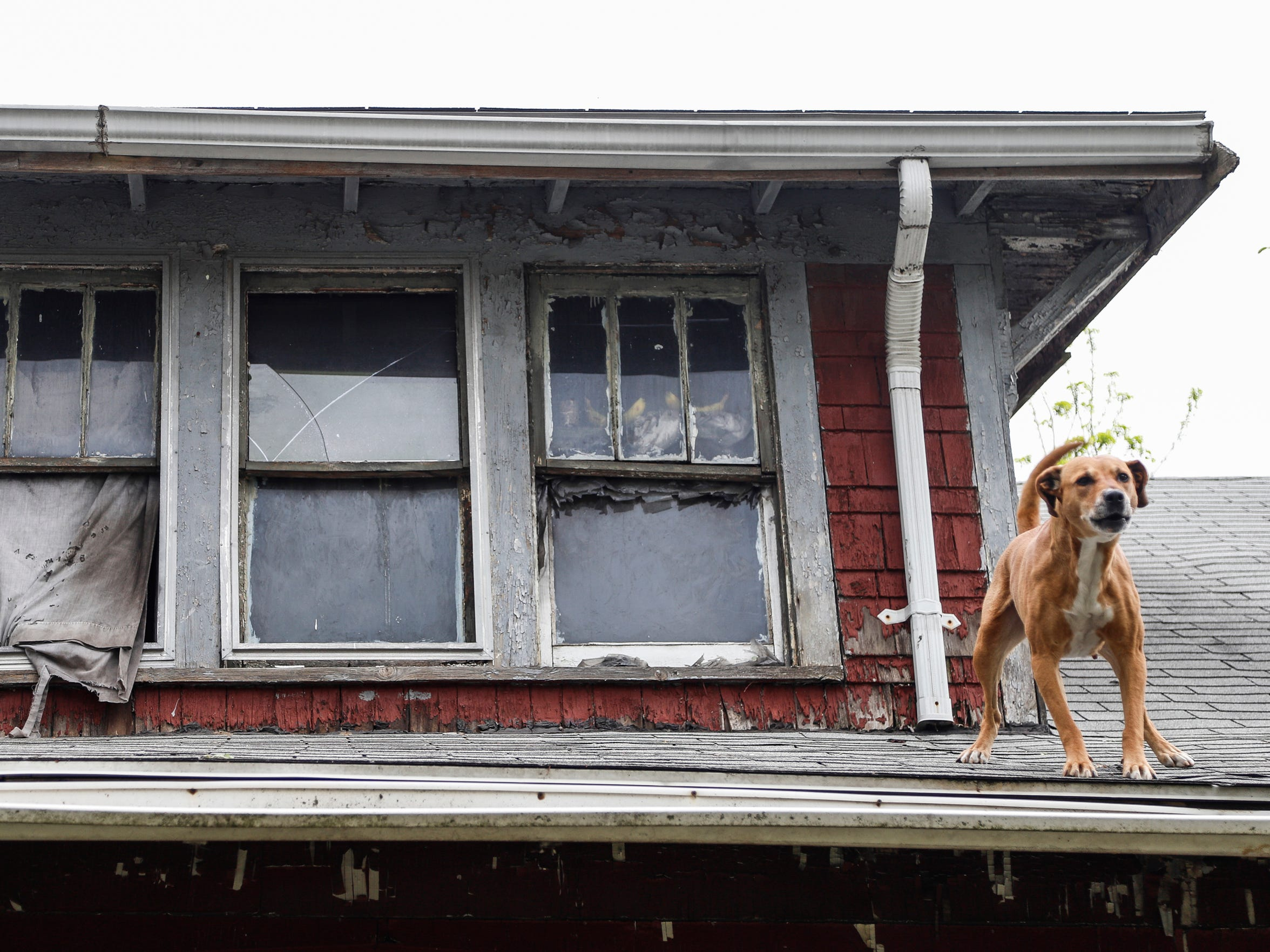 Sugar, a dog that belongs to an occupant of a land bank house in the 11400 block of Mendota, stands on a roof after jumping out of the second floor window in May. (Photo taken May 10, 2018)