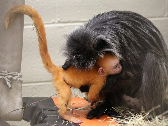 Silvered leaf langur Teagan cares for her newborn at