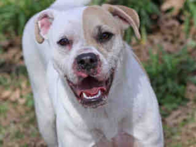 PEACHES – Animal ID # A155868. About 2 years old; spayed