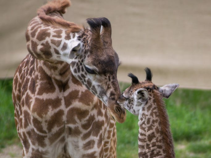 "The Cincinnati Zoo and Botanical Garden features a new Maasi giraffe by the name of Nasha, meaning ""one who comes with the rain."" The 10-day-old giraffe makes her outdoor debut for the first time to the public Thursday afternoon."