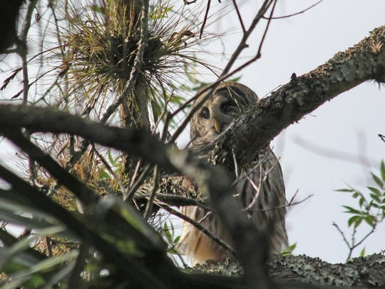 Walter Arksey of Indian River County took this photo of a barred owl at Richard E. Becker Preserve in Fort Pierce while on a St Lucie County-provided bird orientation walk.
