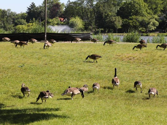 Canada geese are pictured near Huguenot Lake in New