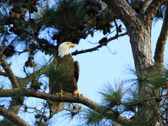 A bald eagle as seen at TPC Sawgrass. (Sam Greenwood/Getty Images)