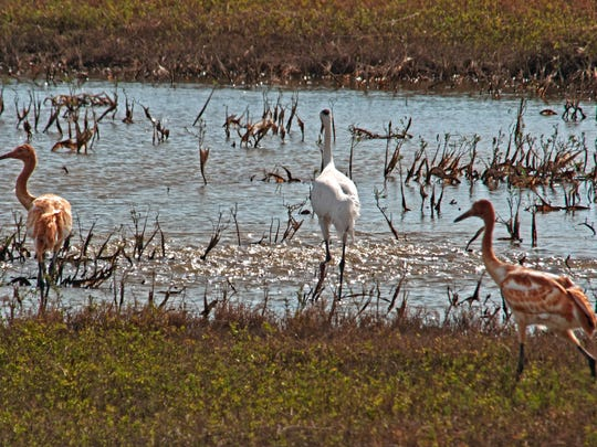This photo shot Tuesday shows a pair of twins with an adult whooper at the Aransas National Wildlife Refuge. The other adult parent was not in sight.