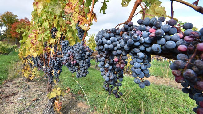 Cabernet Franc grapes await harvesting at Chateau Chantal on the Old Mission Penninsula near Traverse city on Friday, Oct 21, 2016. (Dale G. Young/The Detroit News.)