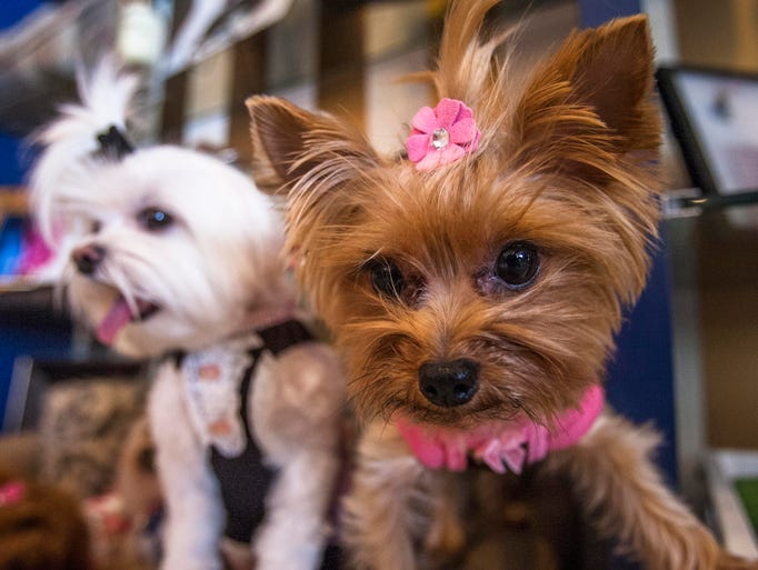 Scottsdale is a dog's world! WalletHub named it the No. 3 Best City for Pet Lovers out of 100 cities.  Here, Gidget (right) and Elphie  get pampered with harnesses, collars and hair ties at Oh My Dog! Boutique and Spa in Scottsdale.
