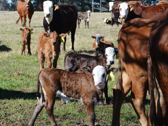 Winter-born calves at the Texas A&M AgriLife Research