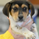 This female, mixed breed puppy is 10- 12 weeks-old, with a sister and both are available for adoption at the Animal Welfare Shelter at 1825 Chester Blvd. Call 765.962.8393 or email animalwelfareleague@yahoo.com for more information.