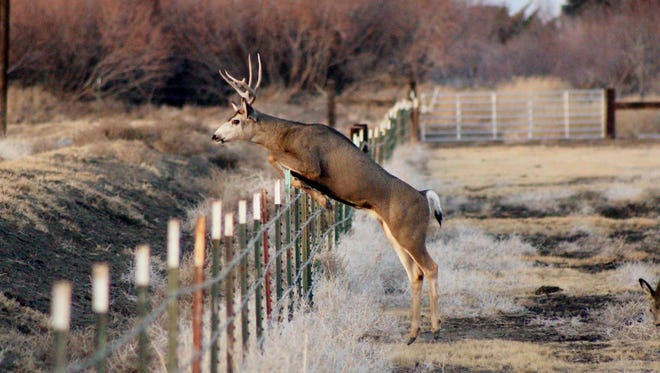 A deer attempts to jump a fence. Living in Reno means you're likely to encounter wildlife, even in the city.
