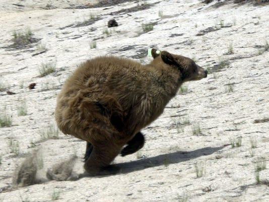 bear release running