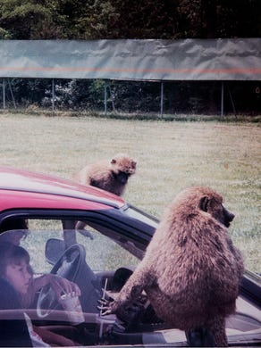 1994: A group of monkeys catch a ride on a visitor's car.
