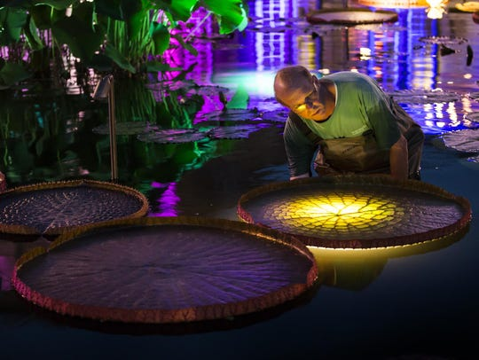 Tim Jennings, the water lily gardener for Longwood