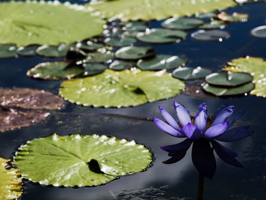 October 18, 2016 - A water lily blossoms in the lily