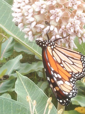 "Monarch on milkweed at Lincoln Homestead State Park near Springfield at its ""way station."""