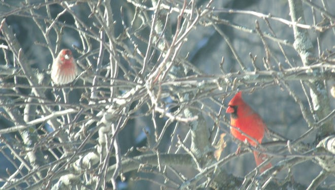 A house finch and northern cardinal in an old apple tree