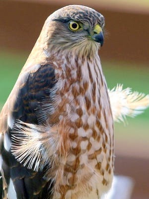 After a session of pruning, this sharp shinned hawk seems to have sprouted a second set of feathery wings.