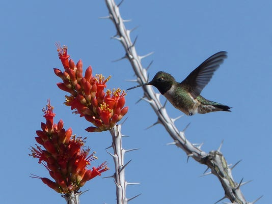 Black-chinned-hummer.jpg