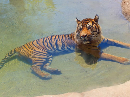 A Sumatran male tiger, Jai, cools off in a pool of water as temperatures climb to 106-degrees at the Phoenix Zoo Thursday, June 2, 2016, in Phoenix. Temperatures are expected to hit 117-degrees over the weekend in Phoenix.