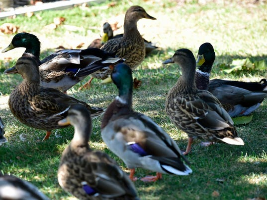 cpo-mwd-091516-dont-feed-ducks-8-edited-1.jpg