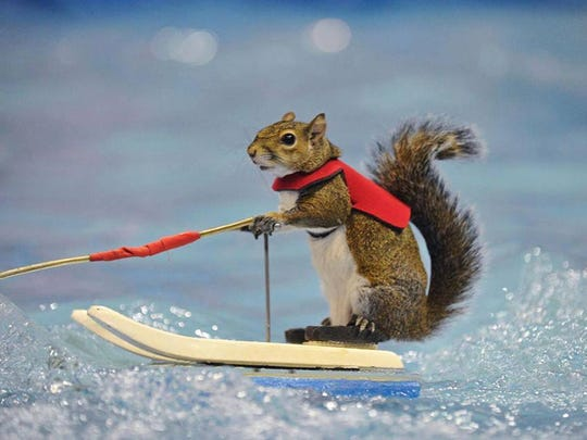 Twiggy, the water-skiing squirrel, gave the performance of a lifetime Monday at Splash Kingdom Water Park in Shreveport.