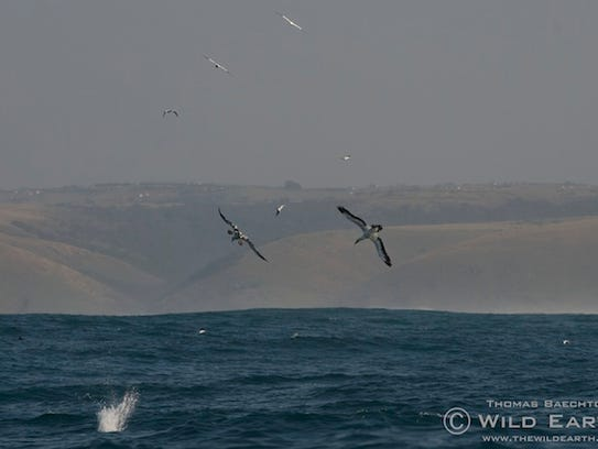Flocks of gannets dive bomb a bail ball of millions