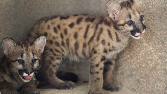 The Tallahassee Museum is raising money so that it can house two cougar cubs