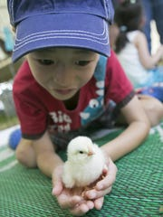 Miles Yang, 7, of New Providence, holds a baby chick in the poultry tent. The Morris County 4-H Fair is held through Sunday at Chubb Park, Chester, NJ. Saturday, July 23, 2016.