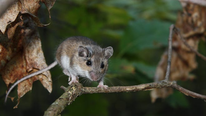 Researchers at the Cary Institute of Ecosystem Studies in Millbrook have received a National Science Foundation grant to study the effects of Lyme disease on mice.