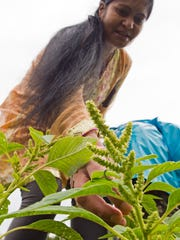 """Indra Adhikari picks leaves from a green variety of a plant called """"palange,"""" a good source of iron and a staple in Bhutanese cooking."""