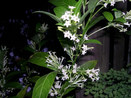 night-blooming-jasmine