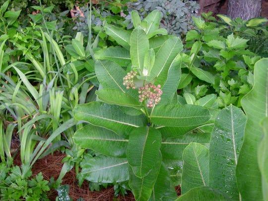 Mow around milkweed so you don't disturb the butterflies.