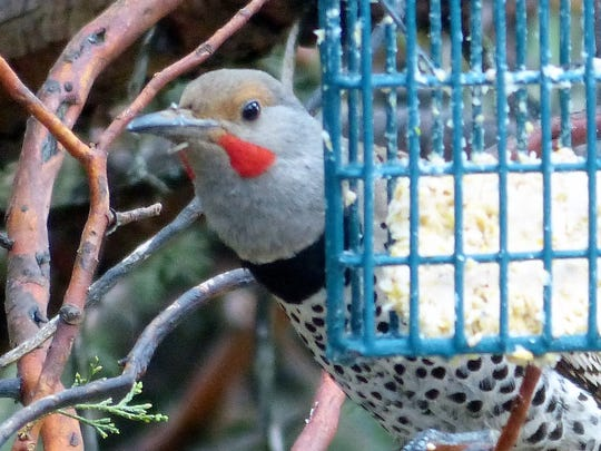 A flicker watches the human with a camera.
